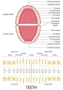 Types and functions of teeth